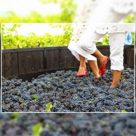 Vendimia y pisada de uvas